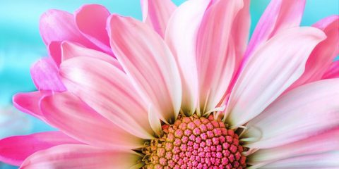 pink daisy by Jim Wellington for Pixabay