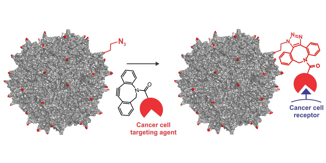 Graphic: Researchers incorporated engineered amino acids into the colored sites shown on an adeno-associated virus to build a cancer-cell targeting gene therapy.