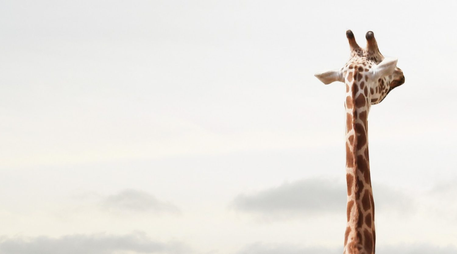 Giraffe (Photo courtesy @GettyImages)